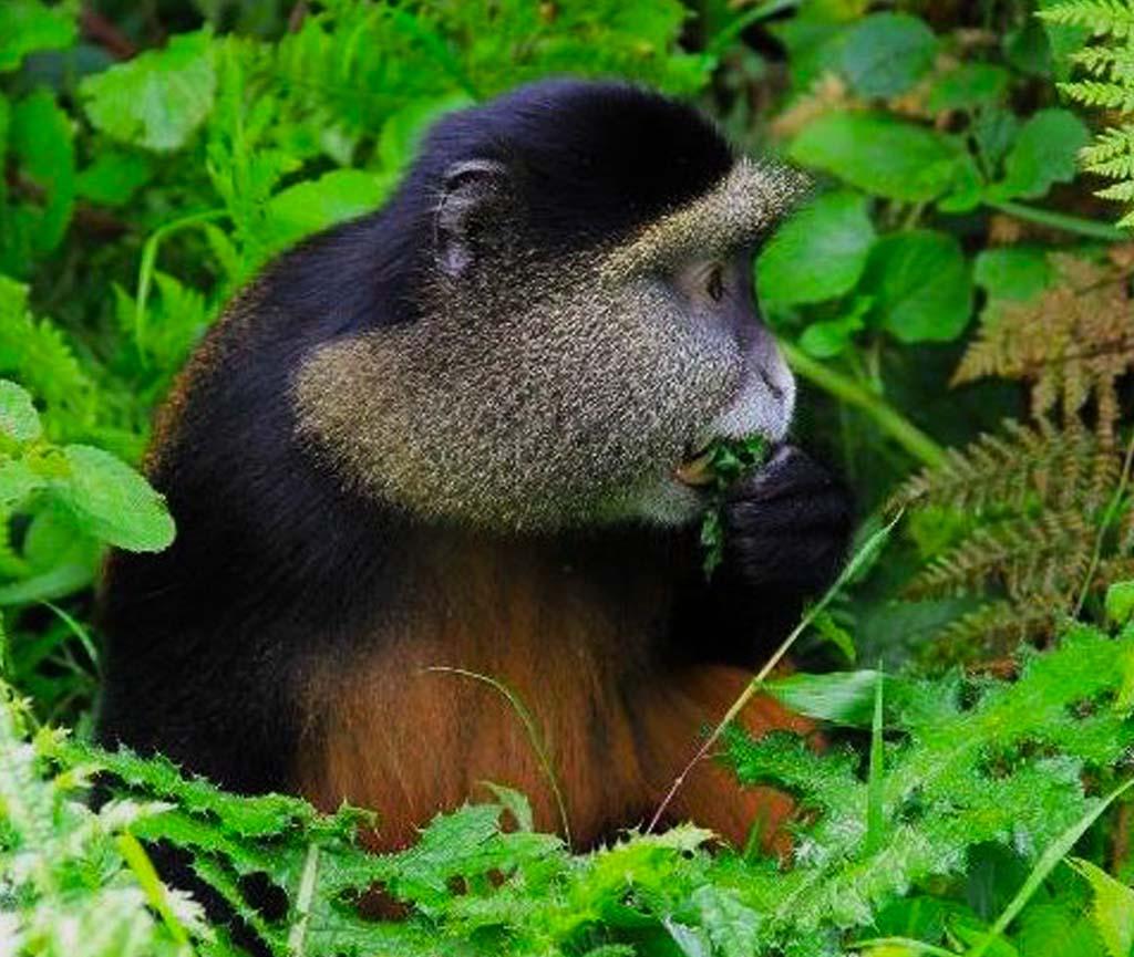 2 Days Golden Monkey Tracking