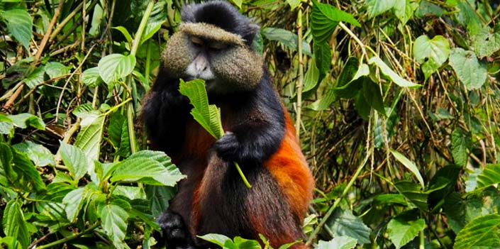 2 days golden monkey tracking rwanda volcanoes national park