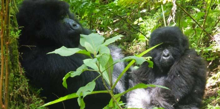 3 days gorilla tracking rwanda volcanoes national park