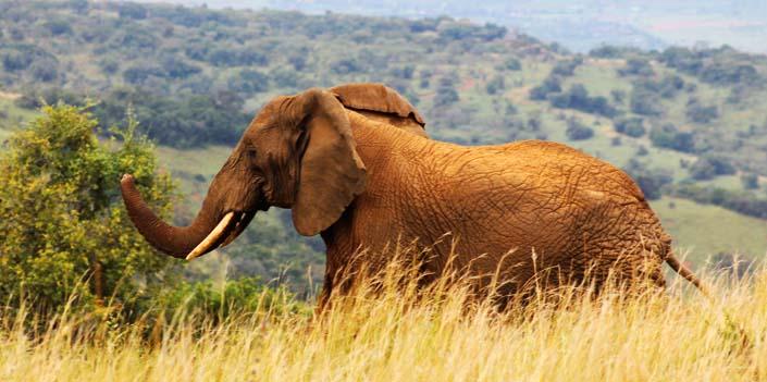2 Days Akagera Safari trip Rwanda - An elephant in Akagera National Park